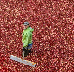 Dr. Gaines-Day standing in a sea of crimson-colored cranberries